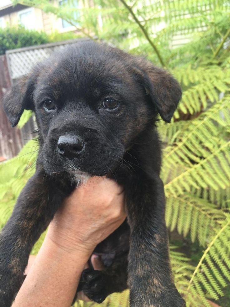Meet Fillmore, A Petfinder Adoptable Labrador Retriever Dog